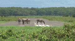 Zebras in an airstrip inside the park. - stock footage
