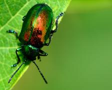 Dogbane beetle Stock Photos