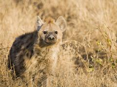 Alert hyena standing in grass Stock Photos
