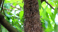 Stock Video Footage of Beehive on tree