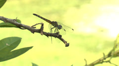 Golden-Ringed Dragonfly Stock Footage