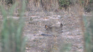Stock Video Footage of Lesser Prairie Chicken 4