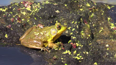 P02955 Bullfrog in Wisconsin Lake Stock Footage