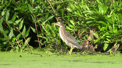 P02954 Green Heron Bird in Marsh Wetland Stock Footage