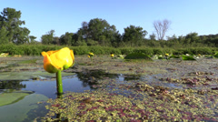 Yellow Water Lily and Lake at Water Level Stock Footage