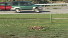 P02958 Prairie Dog Family in Urban Area with Cars Stock Footage
