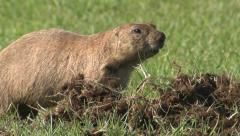 P02960 Prairie Dog Creating Digging Hole in Turf Stock Footage