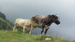 Cow white and black cow Stock Footage