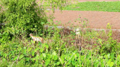 Goats eating leaves Stock Footage
