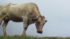Cow with itching Stock Footage