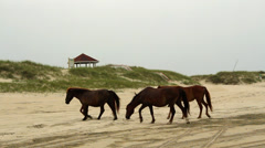 A wild stallion moves his small herd off the beach Stock Footage