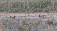 Lesser Prairie Chickens 6 Stock Footage