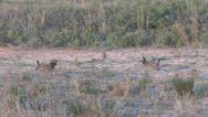 Stock Video Footage of Lesser Prairie Chickens 6