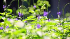 Bee flies around pretty purple flowers Stock Footage