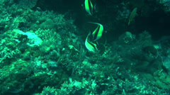 Butterfly Fish - HD Stock Footage