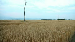 Wheat field with skyline in summer Stock Footage