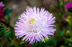 aster genus of herbaceous plants in the family asteraceae - stock photo