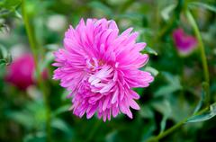 Aster genus of herbaceous plants in the family asteraceae Stock Photos