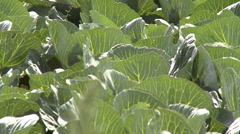 Cabbage field - HD Stock Footage