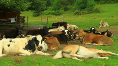 Horses and cows breeding Stock Footage
