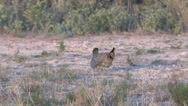 Stock Video Footage of Lesser Prairie Chickens 7