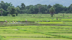 Time lapse farmer working plant rice in farm of Thailand southeast asia Stock Footage