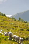 sheep in norway - stock photo