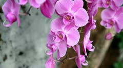 Pink-purple orchid's blossom Stock Footage