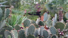Cactus thicket on background brick house Stock Footage