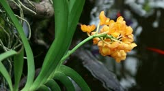 Yellow orchid's blosssom leaning over fish pond Stock Footage
