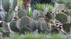 Cactus with long needles and ripening fruits Stock Footage