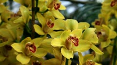 Yellow orchid's blossom Stock Footage
