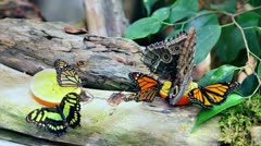 butterflies feeding on a slice of orange with added special shine effect - stock footage