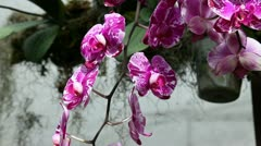 Violet orchid's blossoms in close up Stock Footage