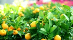Fruits of mandarin growing on a tree Stock Footage