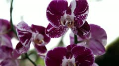 Beuatiful purple orchid's blossom Stock Footage