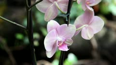 Close pink orchid Stock Footage