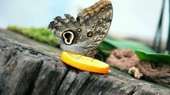 Exotic butterfly feeding on a slice of orange Stock Footage