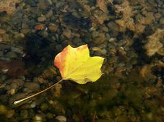 Floating Autumn Leaf on a pond - stock photo