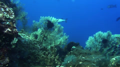 Sea fans decorate a beautiful coral reef - HD Stock Footage