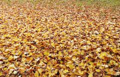 Autumn Ground covered with fallen yellow leaves Stock Photos