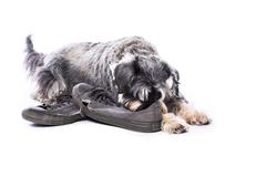 Schnauzer guarding a pair of old shoes Stock Photos