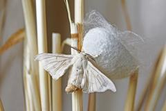 Silk Moth on Cocoon Stock Photos