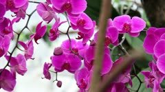 Orchid's blossom Stock Footage
