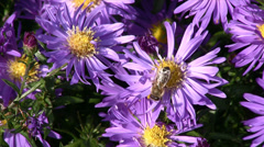 Aster and bee - stock footage