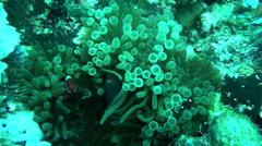 Saddleback clown fish - HD Stock Footage