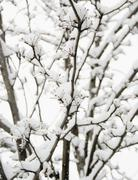USA, New York State, Brooklyn, Williamsburg, snow on branches - stock photo