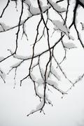 Stock Photo of USA, New York State, Brooklyn, Williamsburg, snow on tree branch
