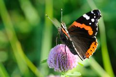 Red admiral Stock Photos