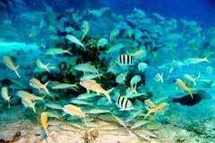 coral fish in blue water. - stock photo